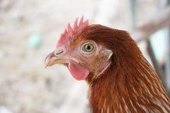 Cierre del pollo del ojo para arriba Fotos de archivo
