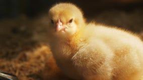 Cierre del polluelo del bebé para arriba almacen de video