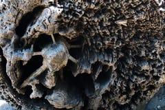 Cierre del registro de la madera de deriva encima de los detalles del decaimiento y de la madera desecada Foto de archivo libre de regalías