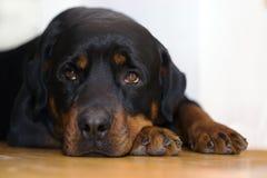 Cierre del retrato de Rottweiler para arriba Imagen de archivo libre de regalías