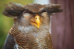 Cierre del retrato del búho para arriba de la cara divertida Fotografía de archivo