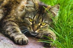 Cierre del retrato del gato para arriba, solamente cosecha principal fotografía de archivo libre de regalías