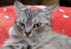 Cierre del retrato del gato para arriba, solamente cosecha principal, gato que juega enojado curioso Imágenes de archivo libres de regalías