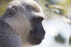 Cierre del retrato del mono de Vervet para arriba con el detalle en el pelo facial largo Imagen de archivo