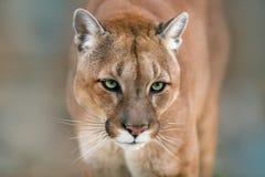 Cierre del retrato del puma para arriba Imagenes de archivo