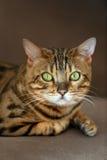 Cierre del retrato del gato para arriba imágenes de archivo libres de regalías