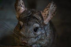 Cierre del roedor de la chinchilla para arriba imagenes de archivo