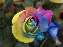 Cierre del roser del arco iris para arriba fotografía de archivo libre de regalías