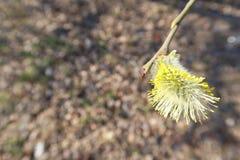 Cierre del sauce de gatito encima de la rama con los brotes mullidos que florecen en primavera temprana imágenes de archivo libres de regalías