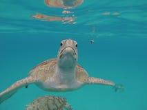 Cierre del submarino de la tortuga de Hawksbill encima de la reserva de naturaleza de Barbados Imagen de archivo libre de regalías
