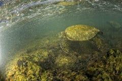Cierre del submarino de la tortuga verde para arriba cerca de la orilla Fotos de archivo