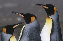 Cierre del sur BRITÁNICO de rey Penguins de Georgia Island tres para arriba Imagenes de archivo