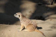 Cierre del suricatta del Suricata de Meerka para arriba Foto de archivo