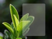 Cierre del té verde para arriba fotografía de archivo