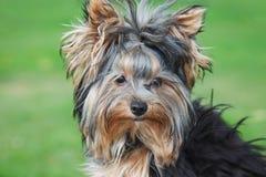 Cierre del terrier de Yorkshire en día de verano asoleado Fotografía de archivo