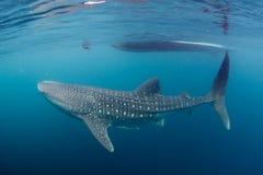 Cierre del tiburón de ballena encima del retrato subacuático Foto de archivo libre de regalías