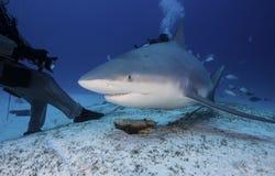 Cierre del tiburón de Bull para arriba Imagen de archivo libre de regalías