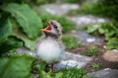 Cierre del tiro de un polluelo ártico de la golondrina de mar, en las islas de Farne, Northumberland, Inglaterra imagen de archivo libre de regalías