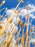 Cierre del trigo antes de la cosecha Fotos de archivo