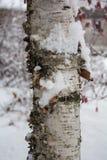 Cierre del tronco de árbol de abedul para arriba que muestra la corteza en nieve Fotografía de archivo libre de regalías