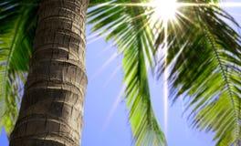 Cierre del tronco de la palmera para arriba Imagen de archivo