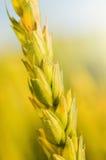 Cierre del tronco del trigo para arriba en fondo borroso Fotos de archivo libres de regalías