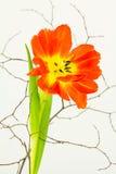 Cierre del tulipán del loro para arriba con las ramitas Imágenes de archivo libres de regalías