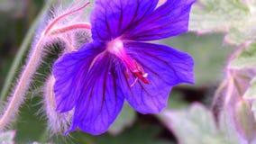 Cierre del vídeo del flor del geranio para arriba Detalle de Sharping, del enfoque, del pistilo y del estambre, metrajes