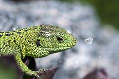 Cierre del varón del lagarto de arena (agilis del Lacerta) para arriba Foto de archivo libre de regalías