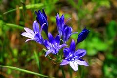 Cierre del Wildflower de California para arriba Imagen de archivo libre de regalías