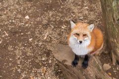 Cierre del zorro rojo para arriba Fotos de archivo libres de regalías