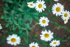 Cierre delicado de la flor de la margarita para arriba imagen de archivo libre de regalías