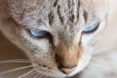 Cierre divertido para arriba del gato tailandés Imagenes de archivo