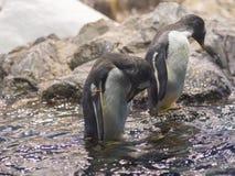 Cierre dos encima del pingüino en el agua con la cabeza abajo, la roca y el icebe Foto de archivo libre de regalías