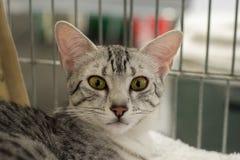 Cierre egipcio del gato del mau encima del retrato Foto de archivo libre de regalías