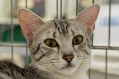 Cierre egipcio del gato del mau encima del retrato Imágenes de archivo libres de regalías