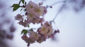 Cierre encima de 4K de la flor en la puesta del sol - luz de Sakura del teléfono dinamic alrededor almacen de metraje de vídeo
