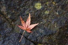 Cierre encima de la caída de las hojas de arce en la pared de piedra Fotos de archivo libres de regalías