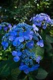 Cierre encima de la cabeza de flor azul viva de la hortensia del casquillo del cord?n del macrophylla de la hortensia foto de archivo