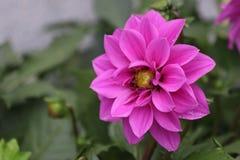 Cierre encima de la desambiguación de Dahlia Flower imagen de archivo