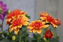 Cierre encima de la desambiguación de Dahlia Flower fotos de archivo libres de regalías