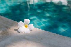 Cierre encima de la flor blanca del Plumeria en el borde de la piscina con el fondo del agua azul fotos de archivo libres de regalías