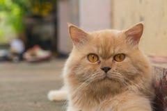 Cierre encima de la imagen de los gatos persas que mienten en un piso de madera Fotografía de archivo libre de regalías