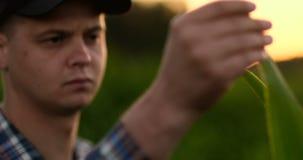 Cierre encima de la mano masculina que toca una hoja Granjero mayor que sostiene un ordenador portátil en un campo de maíz que to almacen de metraje de vídeo