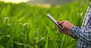 Cierre encima de la mano masculina que toca una hoja Granjero mayor que sostiene un ordenador portátil en un campo de maíz que to almacen de video