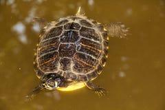 Cierre encima de la natación de la tortuga en el lago