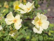 Cierre encima de la rama color de rosa de la flor del perro color de rosa salvaje amarillo del escaramujo, selecta Foto de archivo