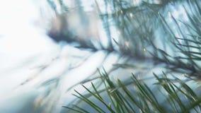 Cierre encima de la rama verde asombrosa del pino al aire libre almacen de video