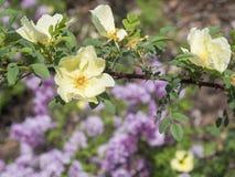 Cierre encima de la ramita color de rosa de la rama de la flor del perro color de rosa salvaje amarillo del escaramujo, b Foto de archivo libre de regalías