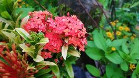 Cierre encima de las flores rojas frescas foto de archivo libre de regalías